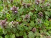 Red Dead Nettle Attracts Honey Bees
