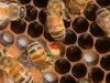 Mark-A-Powers-dead-nettle-pollen-deposited-rotated