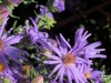Tommy-Tuck-bee-approaching-asters
