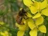 Tommy-Tuck-bee-on-flowering-turnip