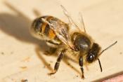 Deformed wing bee