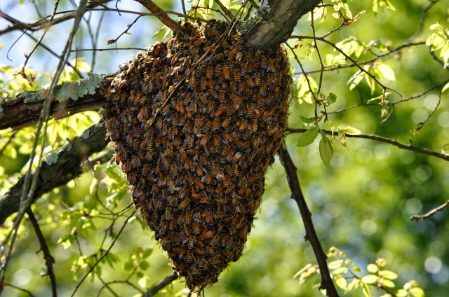 Honey Bee Swarm - Mecklenburg County